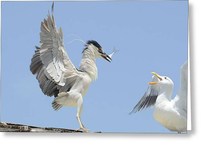 Crowned Heron Greeting Cards - Taunt 2 Greeting Card by Fraida Gutovich