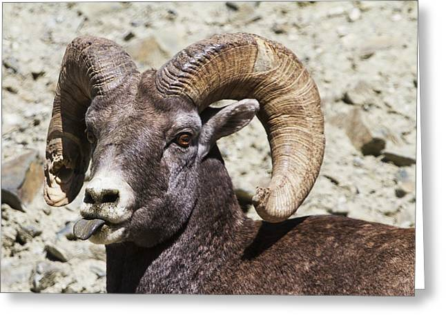 Sticking Out Greeting Cards - Taunting Bighorn Greeting Card by Mark Kiver