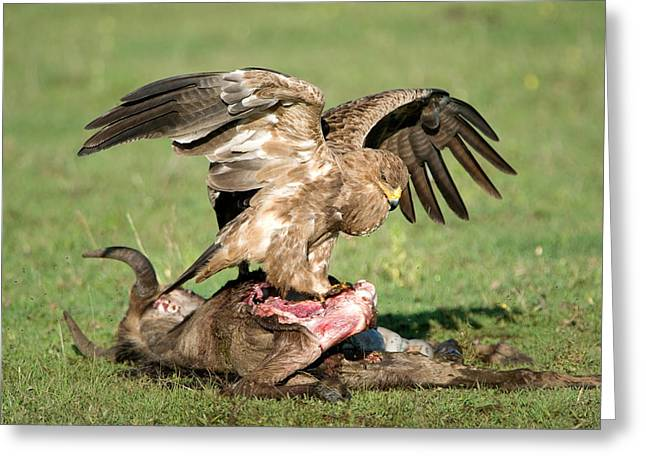 Animal Death Greeting Cards - Tawny Eagle Aquila Rapax Eating A Dead Greeting Card by Panoramic Images