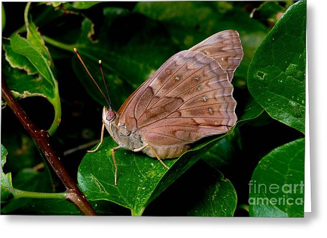 Butterlfy Greeting Cards - Tawny Emperor Butterfly Greeting Card by Gregory G. Dimijian, M.D.