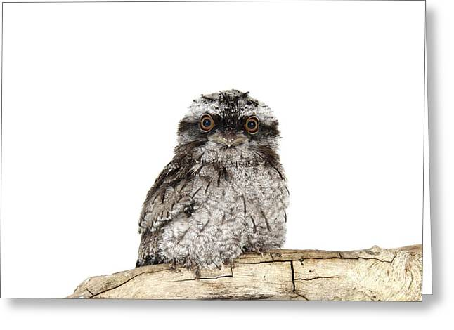 Australian Native Bird Greeting Cards - Tawny frogmouth chick Greeting Card by Science Photo Library