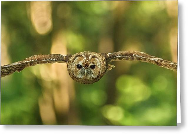 Tawny Owl In Flight Greeting Card by Izzy Standbridge