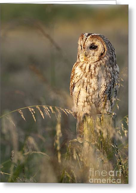 Tim Greeting Cards - Tawny Owl Greeting Card by Tim Gainey