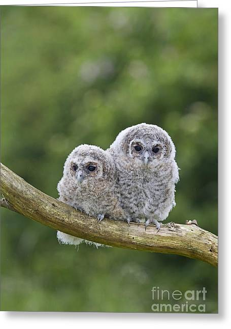 British Fauna Greeting Cards - Tawny Owlets Greeting Card by Paul Sawer FLPA