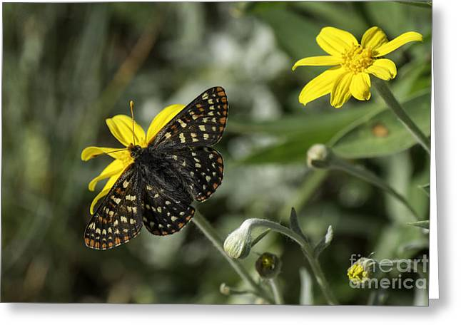 Taylor's Checkerspot Euphydryas Editha Taylori Greeting Card by Tim Moore