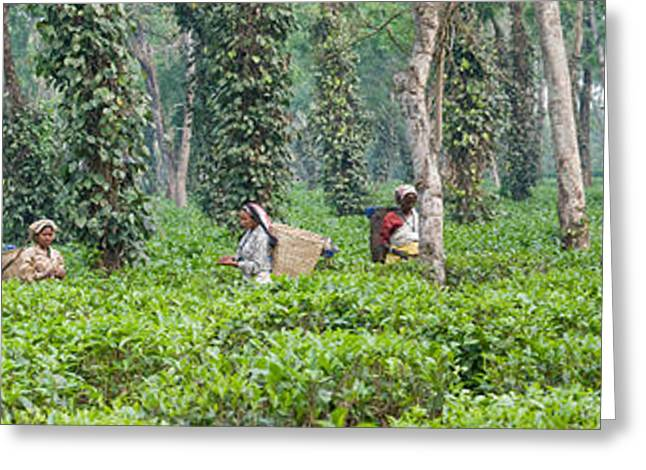 Farmers Field Greeting Cards - Tea Harvesting, Assam, India Greeting Card by Panoramic Images
