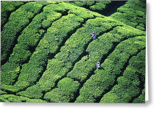 Tea Pickers, Munar, Kerala, India Greeting Card by Peter Adams