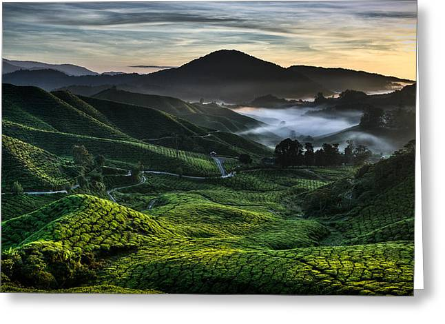 Morning Mist Greeting Cards - Tea Plantation at Dawn Greeting Card by Dave Bowman