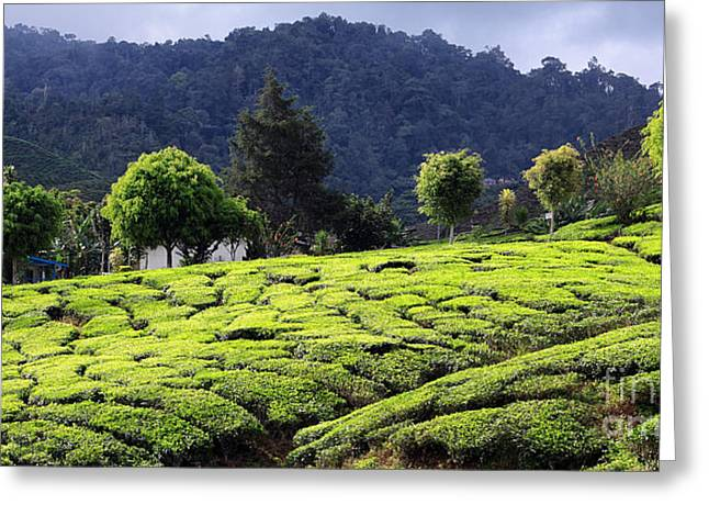Tea Tree Greeting Cards - Tea Plantation Greeting Card by Charline Xia