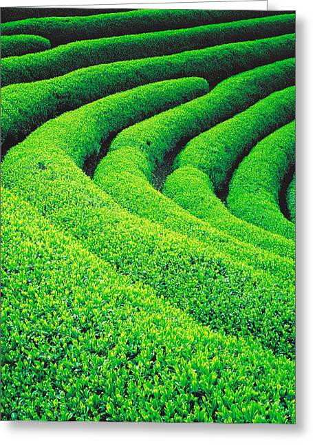Scenic Vista Greeting Cards - Tea Plantation Greeting Card by Panoramic Images