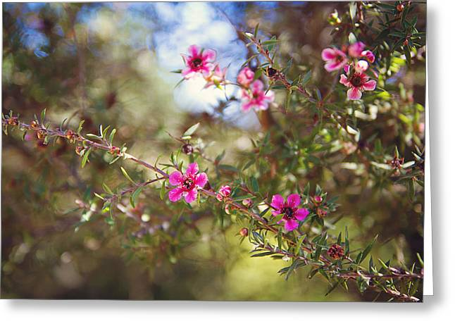 Tea Tree Greeting Cards - Tea Tree Flowers Greeting Card by April Reppucci