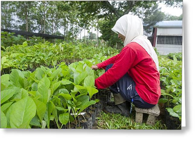 Working Conditions Greeting Cards - Teak planting, Malaysia Greeting Card by Science Photo Library