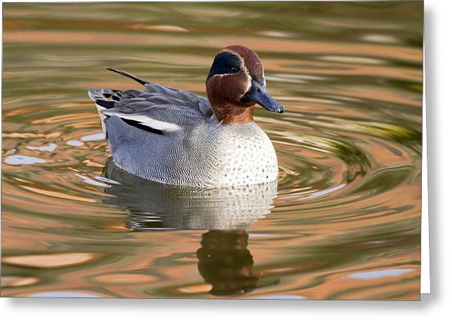 Decorate Greeting Cards - Teal Duck Greeting Card by Chris Smith