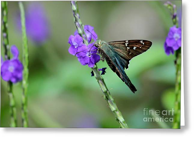 Florida Flowers Greeting Cards - Teal Long Tailed Skipper Butterfly Greeting Card by Sabrina L Ryan