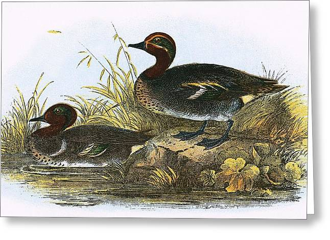 American Teal  Greeting Card by English School