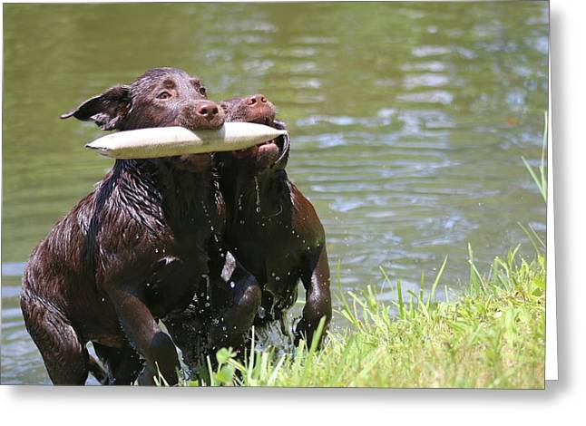 Chocolate Lab Greeting Cards - Teamwork Greeting Card by Betty Baker