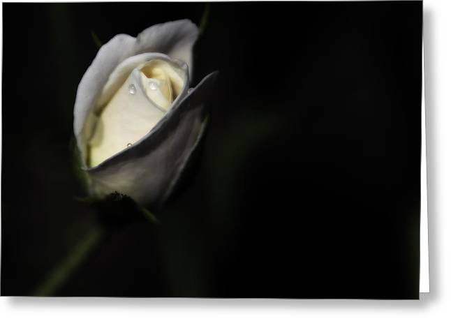 Rose Highlights Greeting Cards - Tear Drops on Cream Rose Greeting Card by Tom Climes