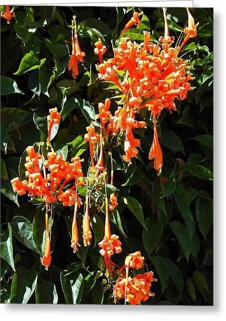 Blooms Greeting Cards - Teardrop Orange Greeting Card by Aimee L Maher Photography and Art