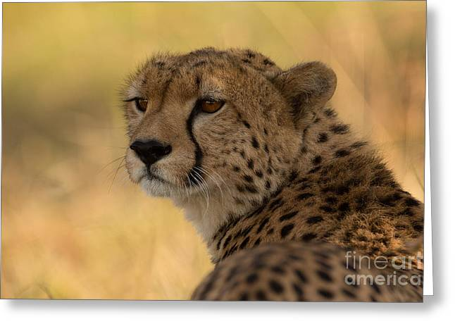 Acinonyx Greeting Cards - Tears of a Cheetah Greeting Card by Ashley Vincent