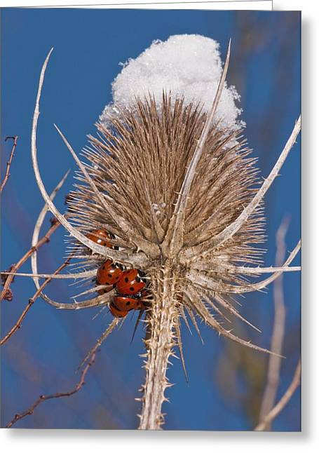 Hibernation Greeting Cards - Teasel and ladybirds Greeting Card by Science Photo Library
