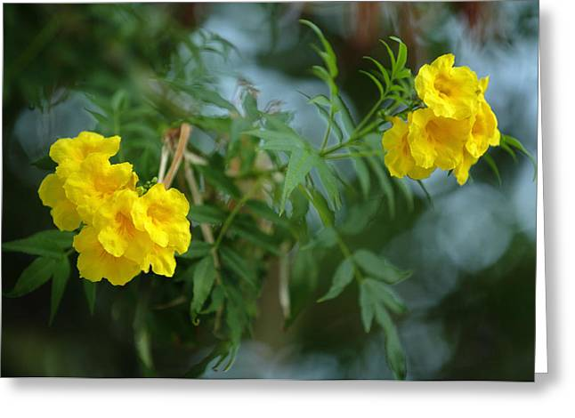 Greek Americans Greeting Cards - Tecoma stans the yellow bell tree Greeting Card by Paul Cowan