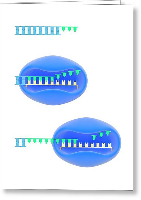Telomere And Telomerase Greeting Card by Science Photo Library
