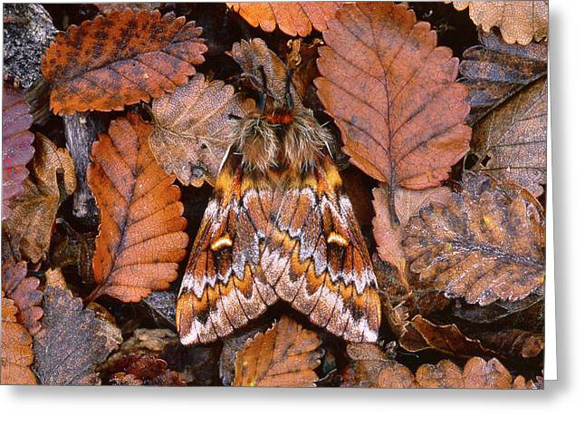 Temperate Rainforest Moth, La Greeting Card by Andres Morya Hinojosa