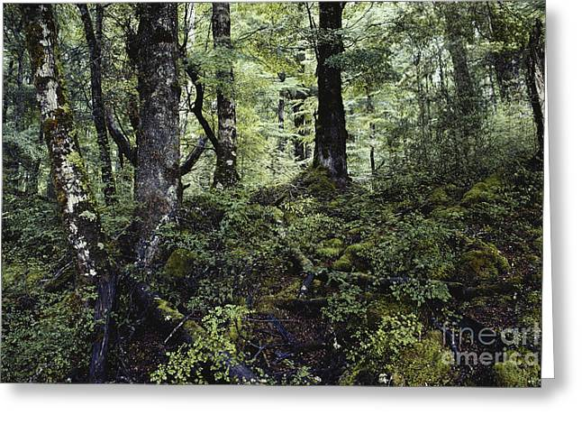 Forest Floor Greeting Cards - Temperate Rainforest, New Zealand Greeting Card by Gregory G. Dimijian, M.D.
