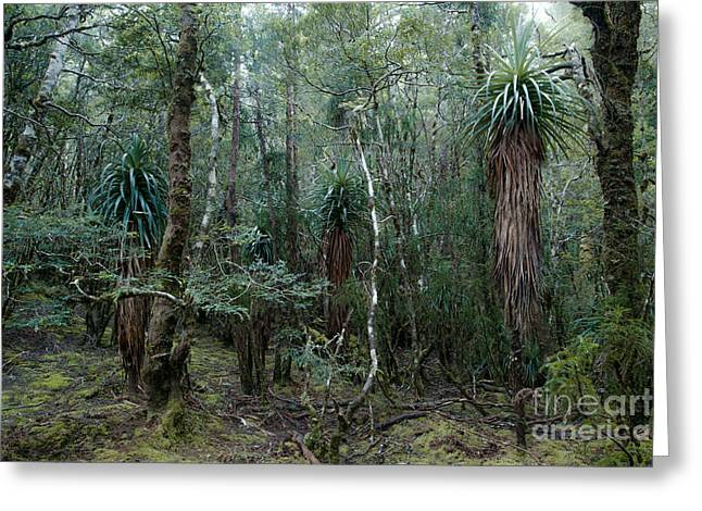 Australasia Greeting Cards - Temperate rainforest Tasmania Australia Greeting Card by Matteo Colombo