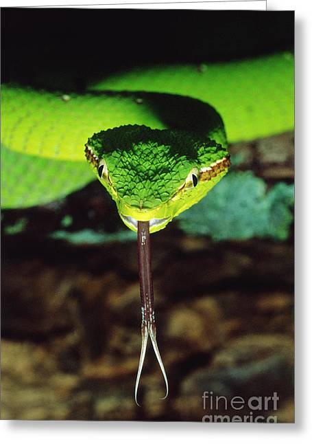 Forked Tongue Greeting Cards - Temple Viper Greeting Card by Gregory G. Dimijian