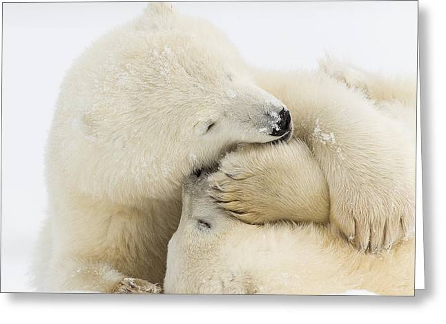 Polar Bear Standing Greeting Cards - Tender Embrace Greeting Card by Tim Grams