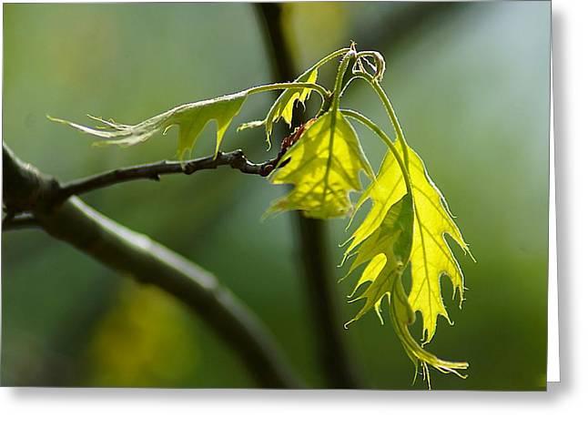 Tender Oak Leaves Emerge Greeting Card by Beth Akerman