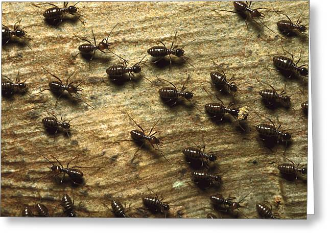 Termites On Wood With One Carrying Greeting Card by Konrad Wothe