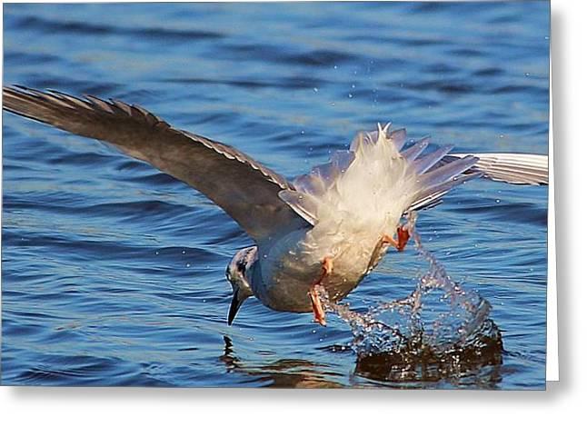 Tern Digital Greeting Cards - Tern Diving Greeting Card by Paulette Thomas