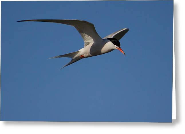 Tern Greeting Cards - Tern in Flight Greeting Card by Kirkodd Photography Of New England