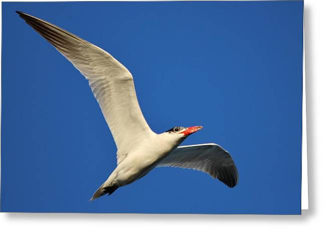 Tern Digital Art Greeting Cards - Tern in Flight Greeting Card by Paulette Thomas