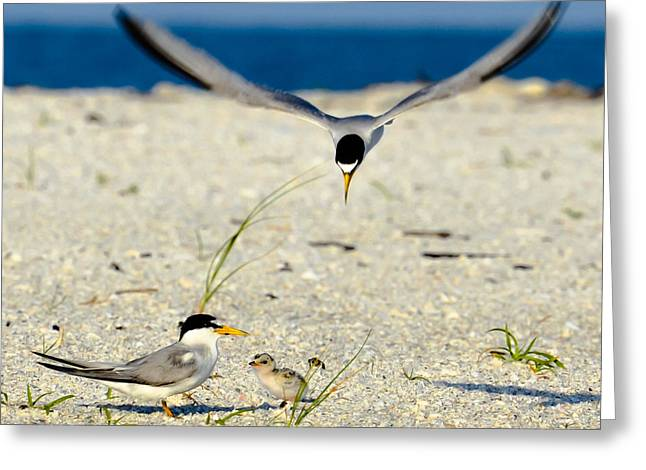 Tern Greeting Cards - Tern Over Greeting Card by AnnaJo Vahle