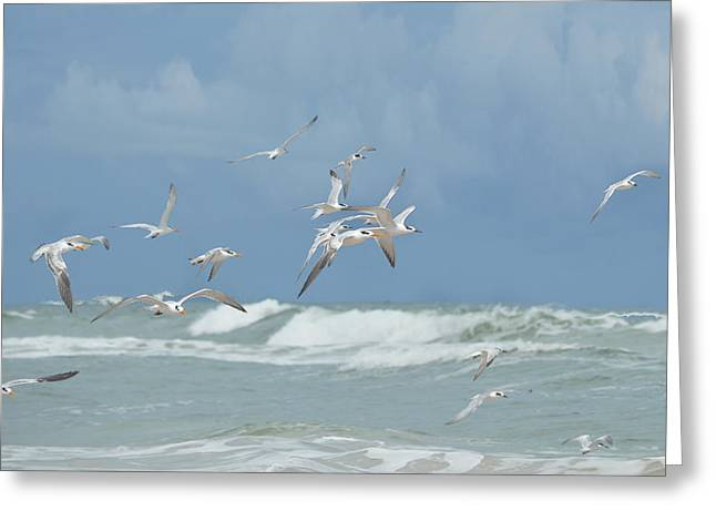 Tern Greeting Cards - Terns in Flight Greeting Card by rd Erickson