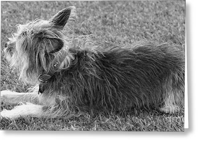 Lucky Dogs Greeting Cards - Terrier Greeting Card by Cassandra Buckley
