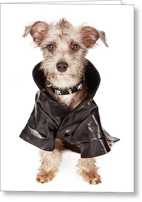 Scruffy Greeting Cards - Terrier Dog With Spiked Collar and Leather Jacket Greeting Card by Susan  Schmitz