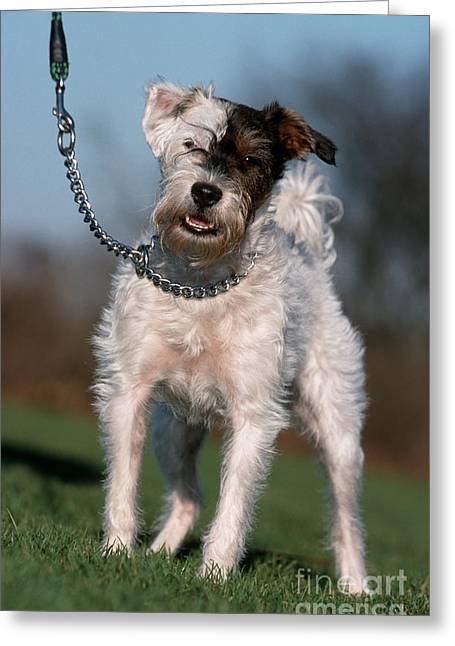 Dog Walking Greeting Cards - Terrier Mix Dog Greeting Card by Johan De Meester