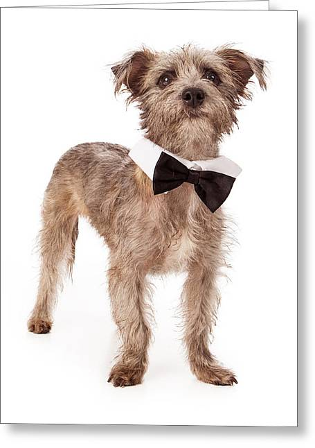 Scruffy Greeting Cards - Terrier Mix Wearing Bow Tie Greeting Card by Susan  Schmitz
