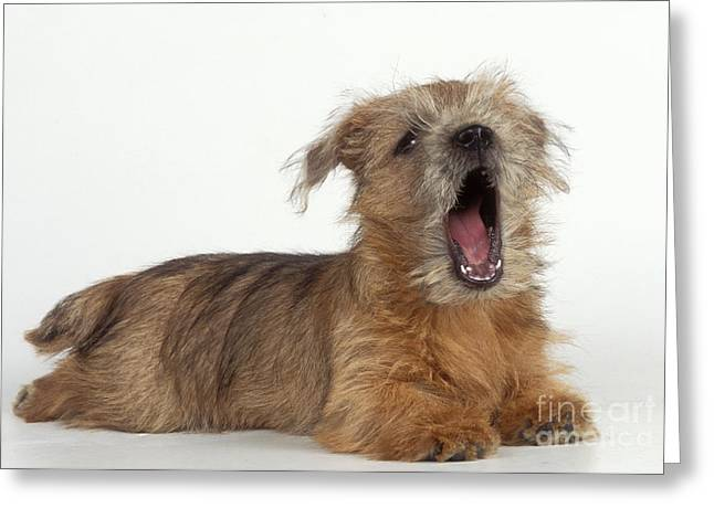 Talking Dog Greeting Cards - Terrier Puppy Yawning Greeting Card by John Daniels