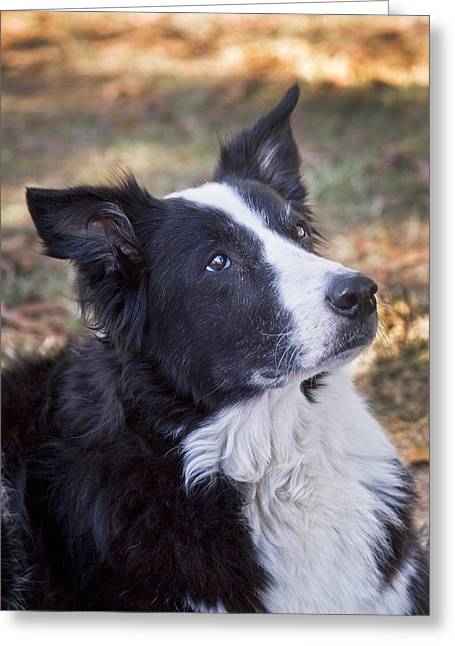 Working Dog Greeting Cards - Tessie 2 Greeting Card by Rich Franco