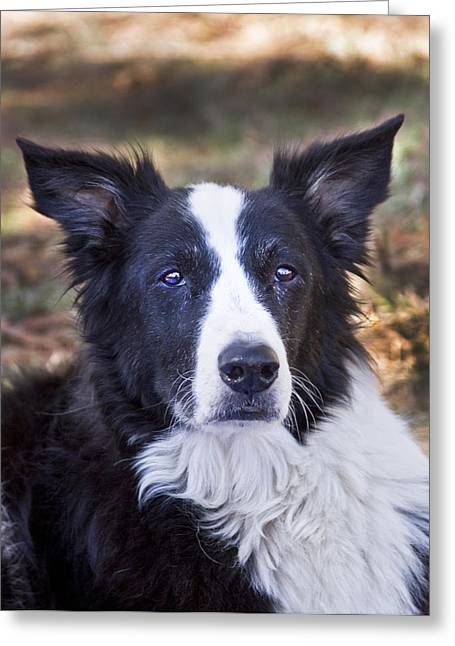 Working Dog Greeting Cards - Tessie 3 Greeting Card by Rich Franco