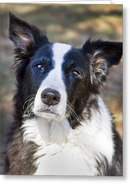 Working Dog Greeting Cards - Tessie 5 Greeting Card by Rich Franco