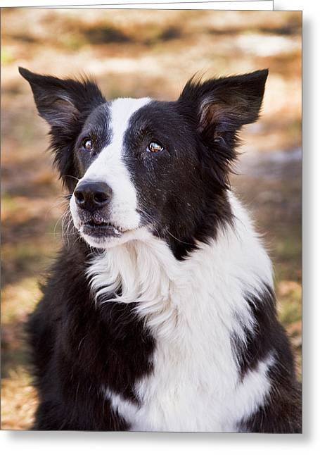 Working Dog Greeting Cards - Tessie 6 Greeting Card by Rich Franco