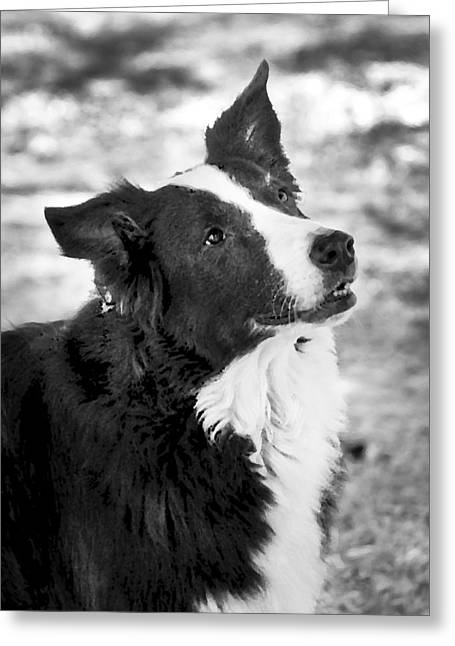 Working Dog Greeting Cards - Tessie 7 Greeting Card by Rich Franco