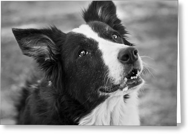 Collie Greeting Cards - Tessie 9 Greeting Card by Rich Franco
