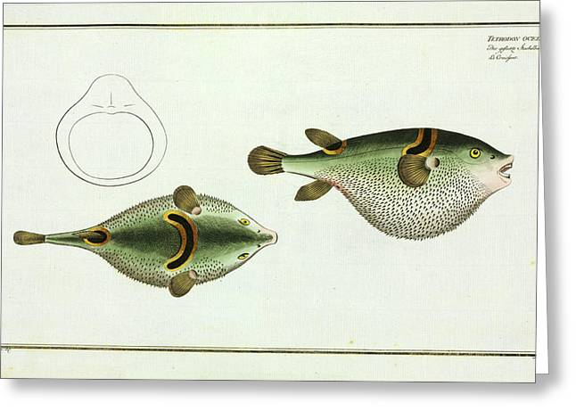Tetrodon Ocellatus (takifugu Ocellatus) Greeting Card by Natural History Museum, London